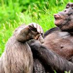 草原に寝転んで舌を出すチンパンジーの画像
